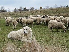 Un berger de Maremme et Abruzzes gardant un troupeau de moutons. (définition réelle 2592×1944)
