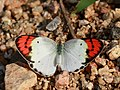 Crimson tip Female from Manchanbele dam IMG 2368.jpg