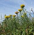 Crinitaria linosyris 280908.jpg