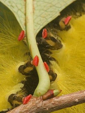 Caterpillar - Crochets on a caterpillar's prolegs