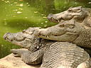 crocodilien