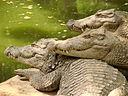 crocodilien