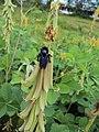 Crotalaria pallida var. pallida 09.JPG