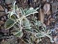 Croton pottsii.jpg