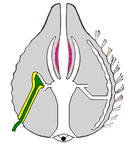 Ctenophore body vert section.png