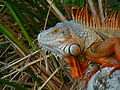 Cuban Iguana head.jpg