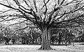 Cubbon park tree.jpg