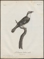 Cuculus cupreus - 1796-1808 - Print - Iconographia Zoologica - Special Collections University of Amsterdam - UBA01 IZ18800239.tif