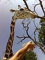 Cuello y cabeza de jirafa.jpg