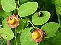 Cup and Saucer Plant Holmskioldia sanguinea by Raju Kasambe DSCF9933 (1) 12.jpg