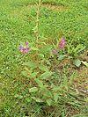 Cuphea procumbens1