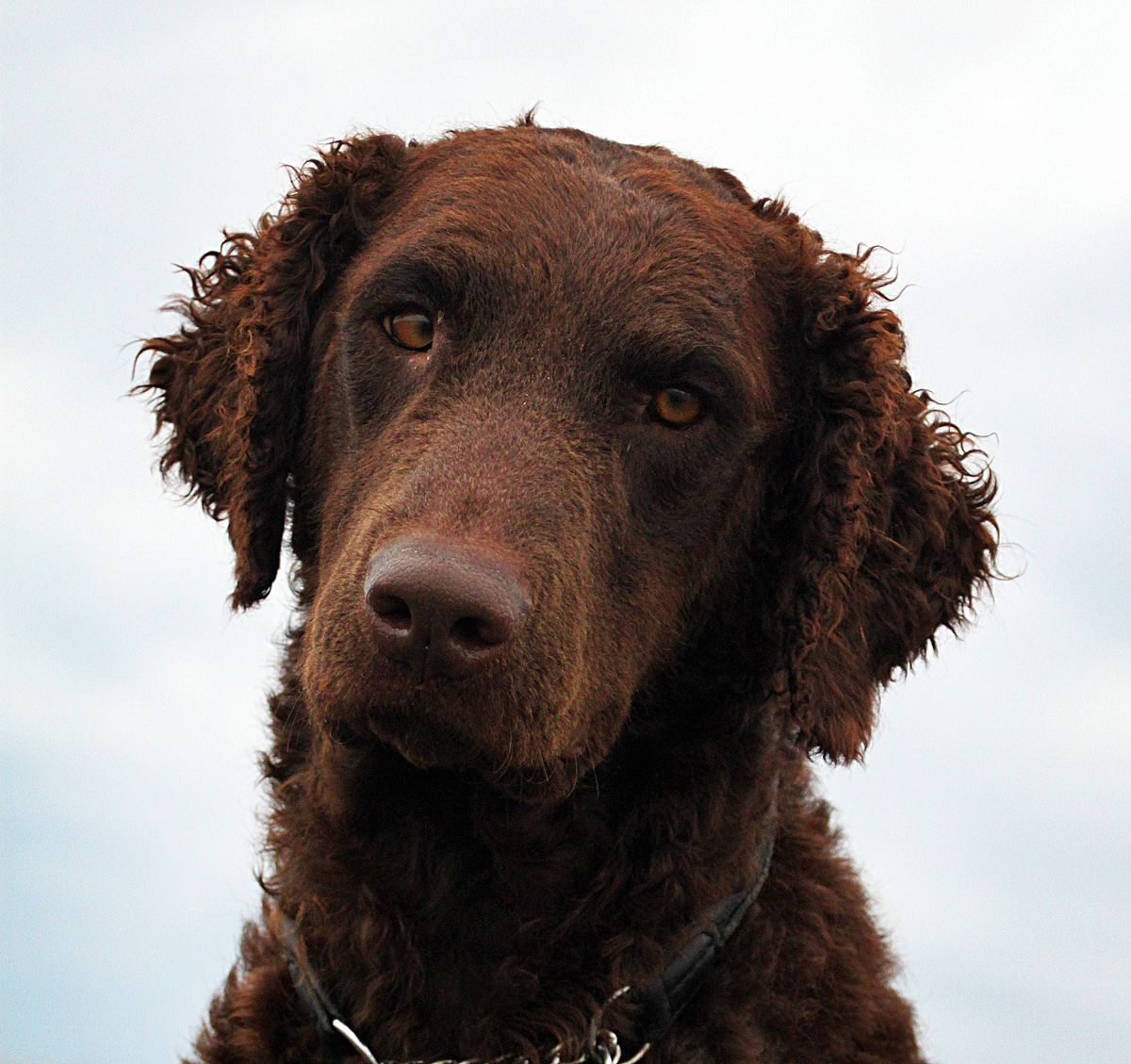 Curly coated retriever – Wikipedia