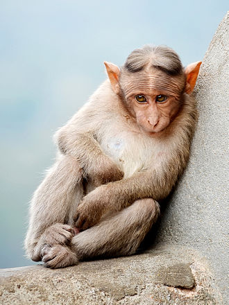 Nuggehalli Raghuveer Moudgal - Bonnet macaque
