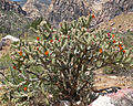 Cylindropuntia acanthocarpa var coloradensis 9.jpg