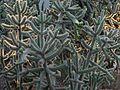 Cylindropuntia spinosior - treegrow.jpg