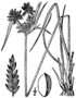 Cyperus houghtonii BB-1913.png