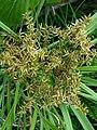 Cyperus javanicus (5744227248).jpg