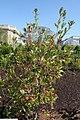 Cyrilla racemiflora 19zz.jpg