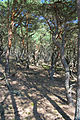 Czołpino - Forest 03.jpg