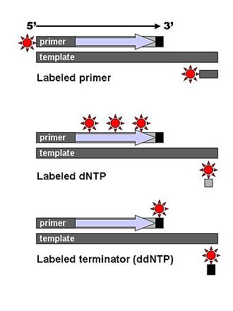 Sanger sequencing - DNA fragments are labelled with a radioactive or fluorescent tag on the primer (1), in the new DNA strand with a labeled dNTP, or with a labeled ddNTP.