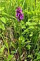Dactylorhiza majalis in natural monument Kopacovska, spring 2013 (2).JPG