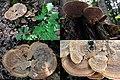 Daedalea quercina (Oak Mazegill or Mazegill Fungus, D= Eichenwirrling, F= Dédalée du chêne, NL= Doolhofzwam)(Querus=Oak=Eiche=Chêne=Eik) white spores, causes brownrot, in nice shape and colours near Lievelde, growin - panoramio.jpg