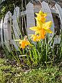 Daffodils on St. David's day (12857283935).jpg