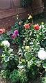 Dahlia flower 102.jpg