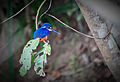 Daintree Rainforest Azure Kingfisher.jpg