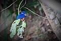 Daintree Rainforest Azure Kingfisher.jpg
