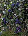 Damsons (Prunus domestica subsp. insititia).jpg