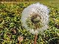 Dandelion (Taraxacum) covered in droplets (23659122395).jpg