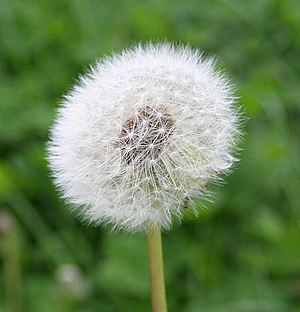 Dandelion in seed The field is littered with d...