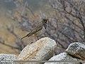 Dark-throated Thrush (Turdus ruficollis) (31914669372).jpg