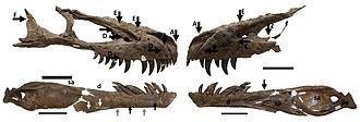 Daspletosaurus - Daspletosaurus skull with bite marks from another tyrannosaur