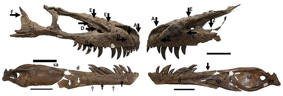Daspletosaurus with bite marks