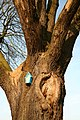 De 'Duizendjarige Eik' , opgaande boom - 375715 - onroerenderfgoed.jpg
