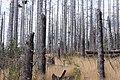 Dead trees 20140810 134945.jpg