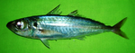 Decapterus russelli Pakistan.png