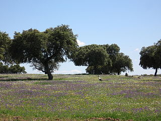 http://upload.wikimedia.org/wikipedia/commons/thumb/d/df/Dehesa3.jpg/320px-Dehesa3.jpg
