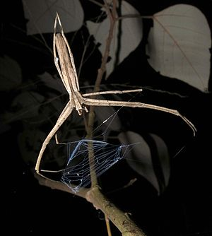 Deinopidae - Deinopis sp. with web