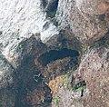 Delichon dasypus (nest).jpg