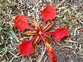 Delonix regia - flor (7554300644).jpg