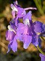 Delphinium bicolor (3434275131).jpg