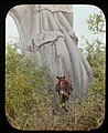 Detail of trunk of Baobab Tree (3947976821).jpg