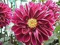 Dhalia cactus from Lalbagh flower show Aug 2013 7936.JPG