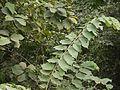 Dhanu vriksha (Sanskrit- धनु व्रिक्ष) (4227265177).jpg