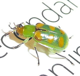 <i>Diabrotica speciosa</i> Species of beetle