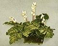 Dicentra cucullaria WFNY-078.jpg