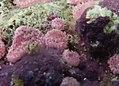 Didemnum cuculiferum.jpg